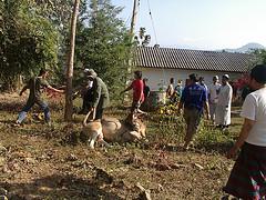 Kurban di Chiang Rai Thailand Utara
